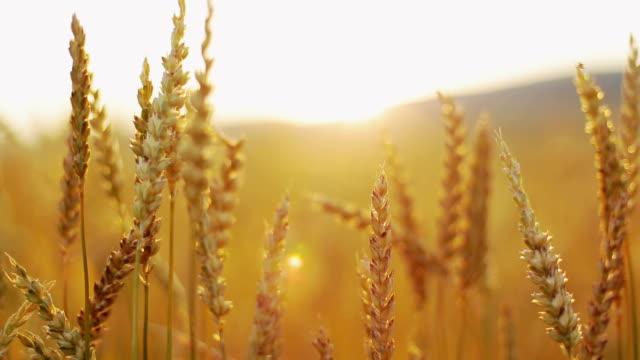 vídeos y material grabado en eventos de stock de trigo de oro - cambio de oficina