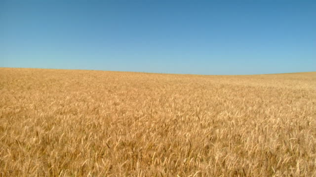golden wheat waves in the wind. - wheat stock videos & royalty-free footage