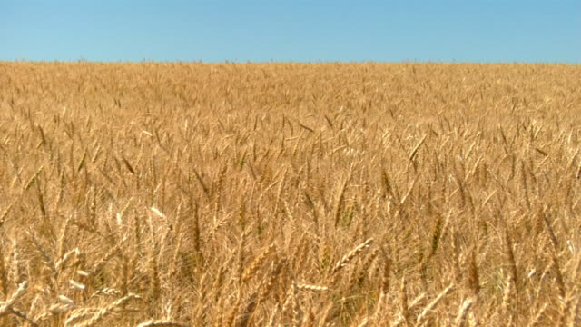 Golden wheat waves in the wind.