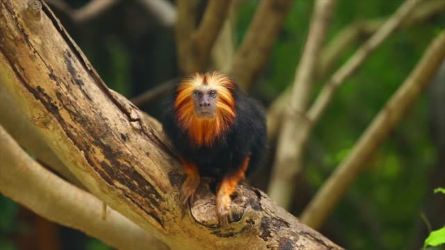 golden-headed lion tamarin on tree. - zona arborea video stock e b–roll