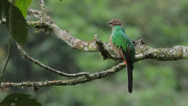 golden-headed quetzal in the rain - ecuador stock videos & royalty-free footage