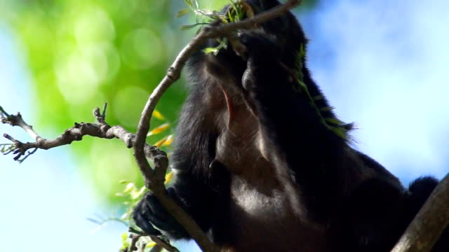 stockvideo's en b-roll-footage met golden-mantled howler monkey (alouatta palliata palliata) geatting leaves for food in a tree, costa rica - costa rica