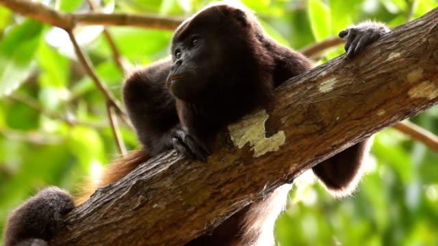 golden-mantled howler monkey (alouatta palliata) resting on a tree, costa rica - provinz puntarenas stock-videos und b-roll-filmmaterial