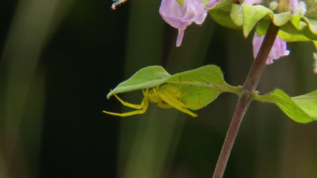 slo mo cu zo ms goldenrod spider (misumena vatia) waiting to catch insects by hiding under leaves / tweed, ontario, canada - tarnung stock-videos und b-roll-filmmaterial