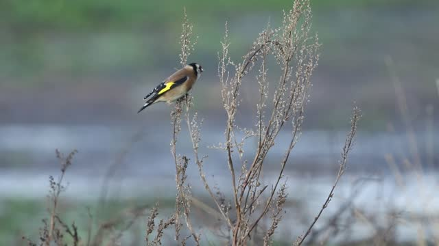 a goldfinch, carduelis carduelis, feeding on seeds of a wild plant growing in the countryside. - wildlife stock videos & royalty-free footage
