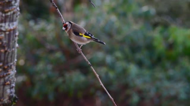 goldfinch in winter. - david johnson stock videos & royalty-free footage