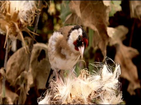 goldfinch (carduelis carduelis) pecking at seedheads, puebla de rio, near donana, andalucia, spain - pflanzenfressend stock-videos und b-roll-filmmaterial