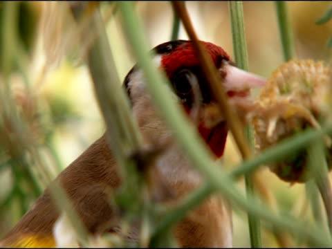 goldfinch (carduelis carduelis) pecking at seeds, behind stalks, puebla de rio, near donana, andalucia, spain - pflanzenfressend stock-videos und b-roll-filmmaterial