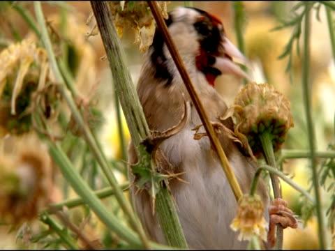 goldfinch (carduelis carduelis) pecking at seeds, puebla de rio, near donana, andalucia, spain - pflanzenfressend stock-videos und b-roll-filmmaterial