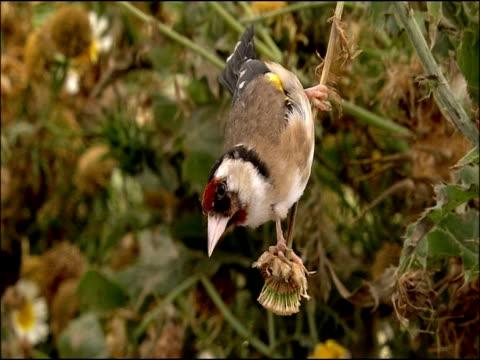 goldfinch (carduelis carduelis) pecking at seeds, upside down, puebla de rio, near donana, andalucia, spain - pflanzenfressend stock-videos und b-roll-filmmaterial