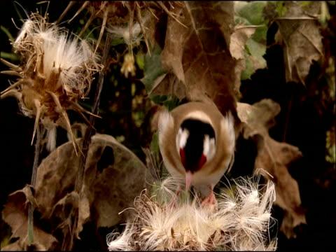 goldfinch (carduelis carduelis) pecks at thistle seeds, puebla de rio, near donana, andalucia, spain - pflanzenfressend stock-videos und b-roll-filmmaterial