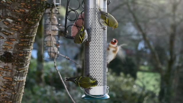 goldfinches and siskins feeding in winter. - david johnson stock videos & royalty-free footage