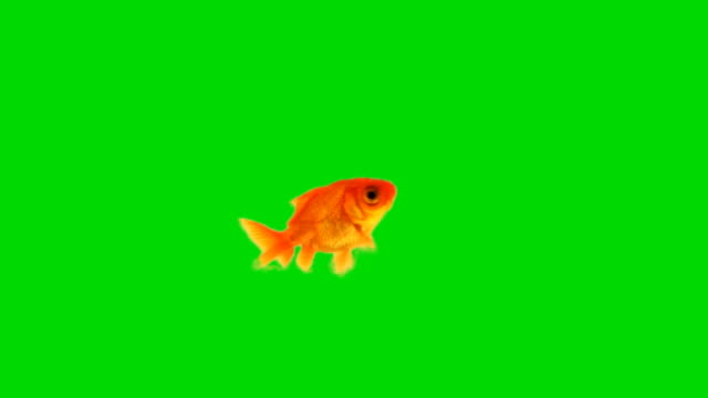 Goldfish against chroma green screen