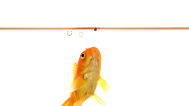 vidéos et rushes de poisson rouge à des plats au ralenti - nourrir