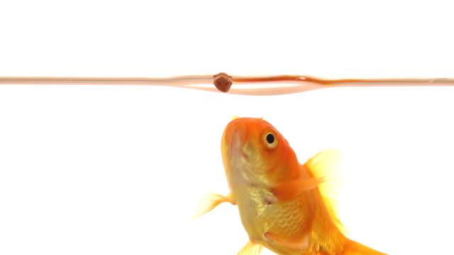 Goldfish catches food