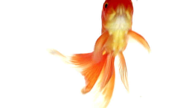 goldfish close up - goldfish stock videos & royalty-free footage