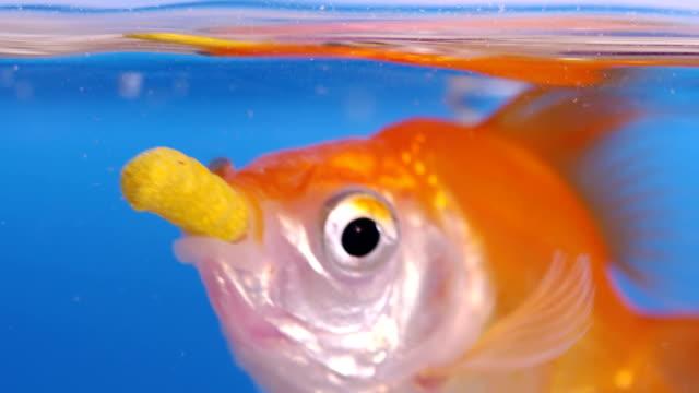 SLOW-MO: Goldfish feeding