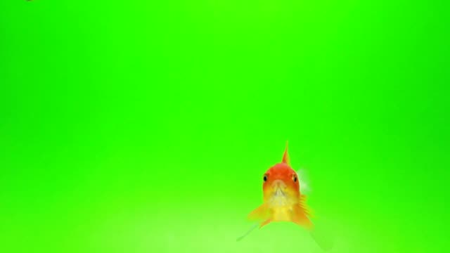 goldfish green screen background - green background stock videos & royalty-free footage