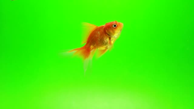 goldfish green screen background - fishbowl stock videos and b-roll footage
