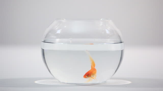 goldfish in a bowl - bowl stock videos and b-roll footage