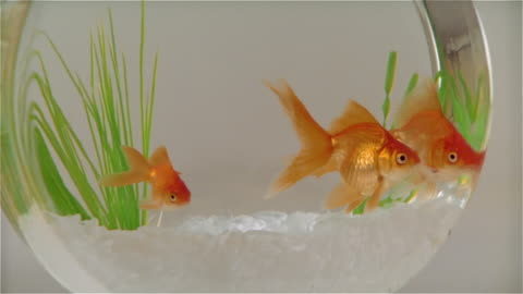 cu zo goldfish in bowl on table - trapped stock videos & royalty-free footage