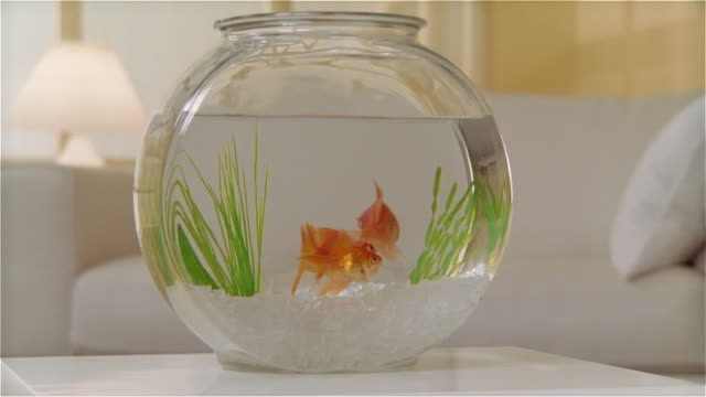cu zo goldfish in bowl on table - fishbowl stock videos and b-roll footage