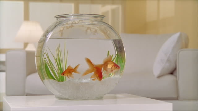 ms zi goldfish in bowl on table - bowl stock videos & royalty-free footage