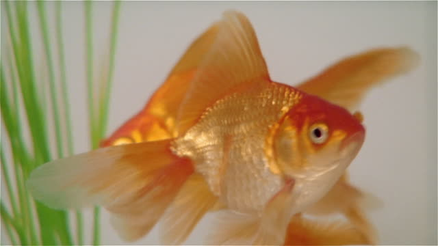 cu zo goldfish in bowl on table - goldfisch stock-videos und b-roll-filmmaterial
