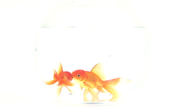goldfish in fishbowl - fishbowl stock videos and b-roll footage