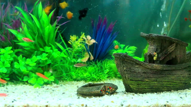 goldfish in freshwater aquarium with green beautiful planted tropical - bowl stock videos and b-roll footage