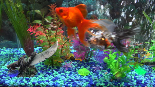 goldfish in home aquarium fish tank - fish tank stock videos & royalty-free footage