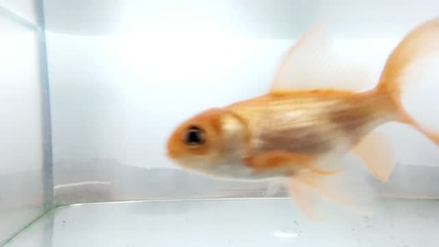goldfish in my home aquarium - kitchen worktop stock videos & royalty-free footage