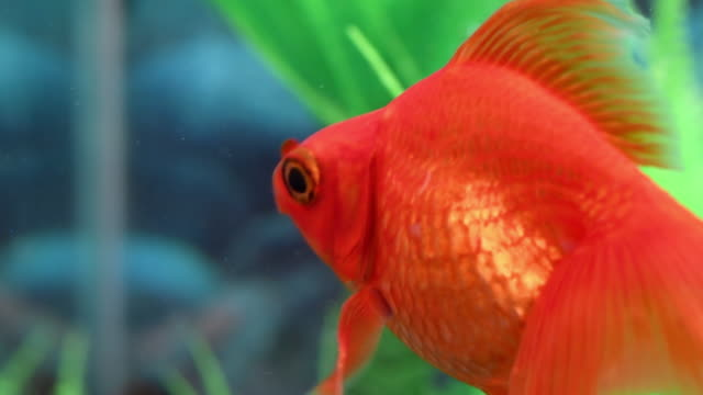 goldfish in vibrant color swimming on a tank - fishbowl stock videos and b-roll footage