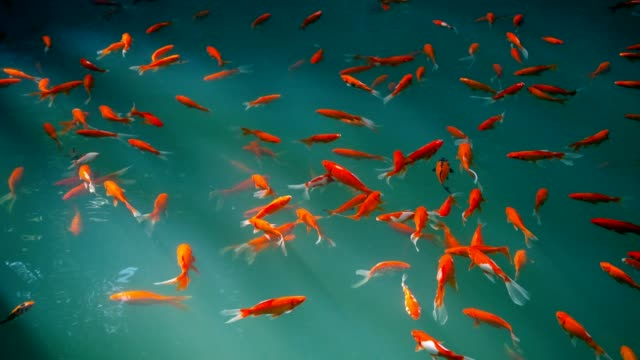 goldfish in water - giappone video stock e b–roll