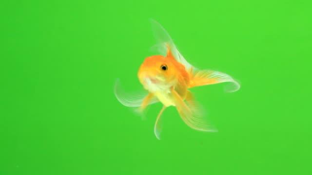 Pesce rosso su schermo verde