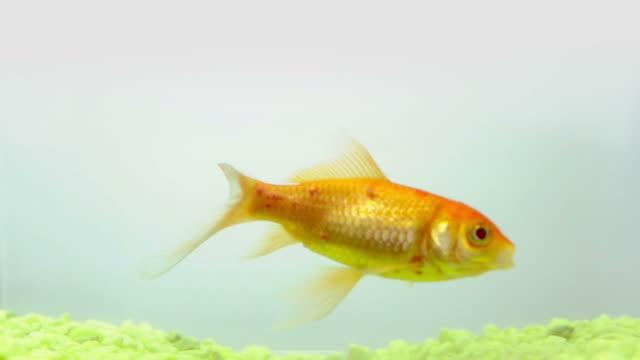 vídeos de stock e filmes b-roll de peixe dourado sobre fundo branco - peixe