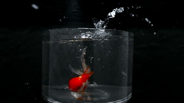 a goldfish plunges into a bowl of water. - david ewing stock videos & royalty-free footage
