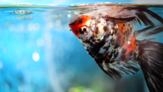 stockvideo's en b-roll-footage met goldfish suffering from swim bladder disorder swim upside down - blaas urinewegstelsel