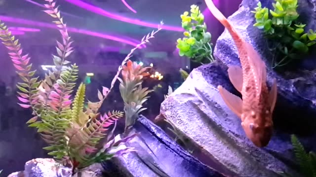 goldfish swim in a large aquarium - electric ray stock videos & royalty-free footage