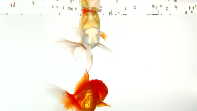 goldfish swimming and eating - fishbowl stock videos and b-roll footage