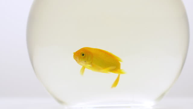 goldfish swimming around round glass bowl - animal fin stock videos & royalty-free footage