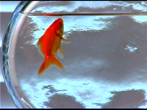 goldfish swimming in fishbowl - fishbowl stock videos and b-roll footage