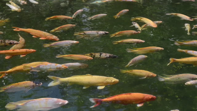 ms goldfish swimming in holy spring of pura tirta empul / tampaksiring, bali, indonesia - goldfisch stock-videos und b-roll-filmmaterial