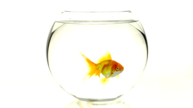 goldfish swimming in small aquarium - bowl stock videos and b-roll footage