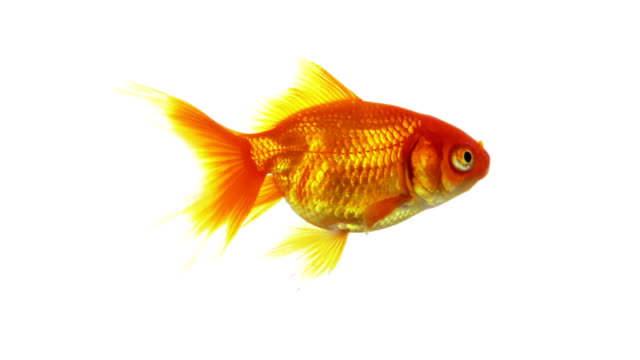 goldfish swimming - plain background stock videos & royalty-free footage
