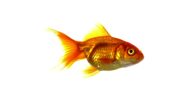 goldfish swimming - cut out stock videos & royalty-free footage