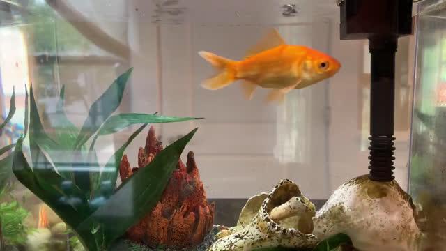 goldfish swims around home aquarium - freshwater stock videos & royalty-free footage