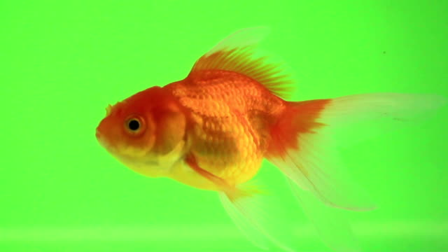 goldfish talk on green screen - green background stock videos & royalty-free footage
