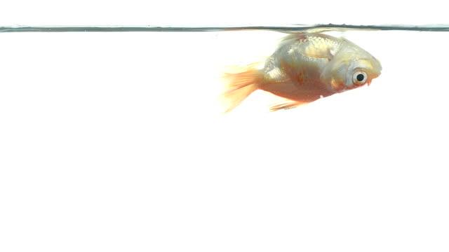 goldfish - dead animal stock videos & royalty-free footage