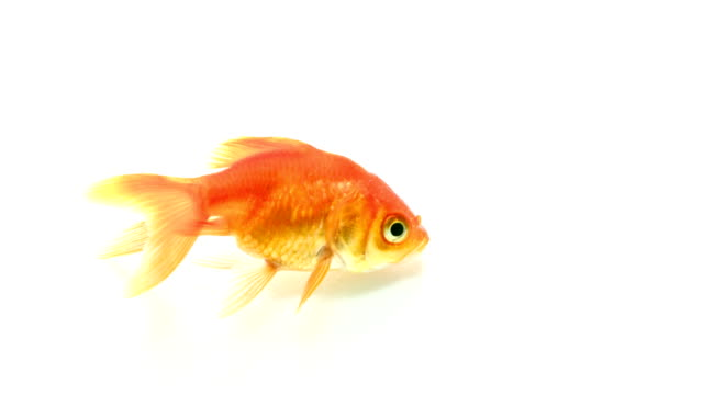 goldfish - gill stock videos and b-roll footage